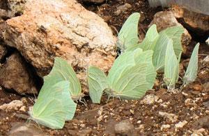 Green Yucatan Butterflies